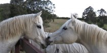 Arabian Horses NSW Australia. Dream on the right with Manni on left