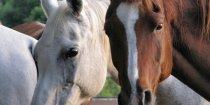 Charlie And Kiya -Arabian Trekking Horses Horseriding Holidays NSW Australia