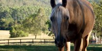 Finesse - East Coast Australian Adventure Horse Riding Holidays NSW North Of Sydney