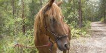 Kamal - Australian Adventure Horse Trailriding Hinterland Treks NSW