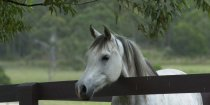 Kiya - Arabian Horse Riding Farm NSW Australia