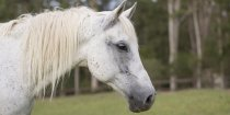 Manni - Trail Horse Riding Adventure Holidays NSW Australia