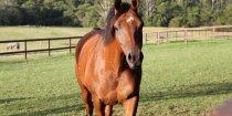 Valentino In Kerewong Horse Paddock NSW Australia