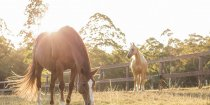 Copper and Ness - Enjoying Horse Retirement At Kerewong Horse Paddock Horse Riding Holidays NSW