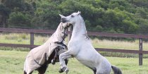 Trail Riding Holiday Horses Play In Large Paddocks Horse Farm NSW North Of Sydney Australia
