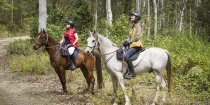 Koala In The Forest Gum Trees - Wildlife Spotting On Horseriding Tours