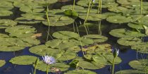 Waterlillies On Pond Kerewong Horse Riding Holiday Farm NSW Australia