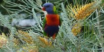 Australian Wildlife - Rainbow Lorikeet On Grevillia In Kerewong Garden, NSW Australia