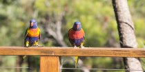 Rainbow Lorikeets Visiting Horse Riding Farm NSW Australia