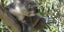 Australian Wildlife - Koala In Gum Tree