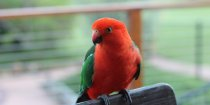 Australian Birdlife On NSW Horse Farm - King Parrot