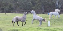 Horse Treks Australia - Kerewong Horses Play On Hinterland Farm NSW