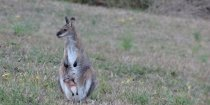 Australian Wildlife Kangaroo And Joey Horse Farm Holiday NSW Mid North Coast