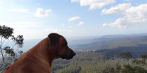 Rhodesian Ridgeback Jambo - King Of The Mountain