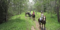 Horse Trail Riding Eucalyptus Forest Plantation Horsetrek Tours NSW