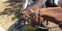 Well Cared For Endurance Horses Adventure Trailriding Holidays Australia